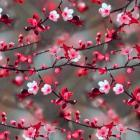 Bloom of Cherry Tree